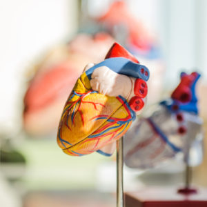 Photo of model heart